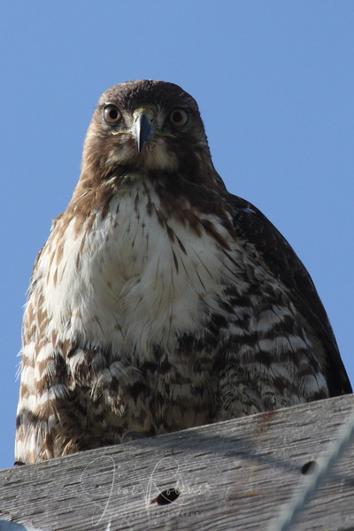 Red-tailed Hawk close and personal