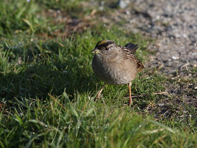 Golden-crowned Sparrow in early morning