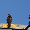 Late afternoon sun. Young Red-tailed Hawk