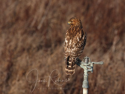 Morning sun. Red-shouldered Hawk.
