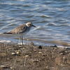 Black-bellied Plover - non-breeding plumage