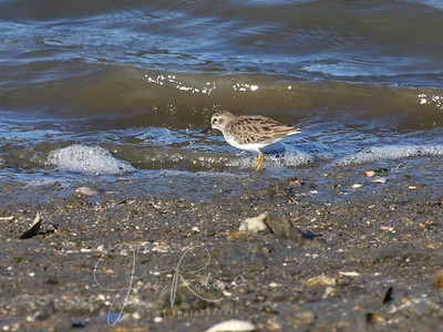 Least Sandpiper at Loch Lomand Marina