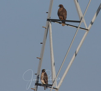 Morning sun--both Red-tailed Hawks? Too far away to tell.
