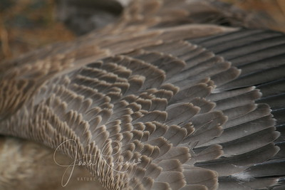Canada Goose decided to spread a wing just as I was taking a photo of his sibling's head close up.