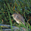 Young Night Heron, Las Gallinas ponds, San Rafael, California