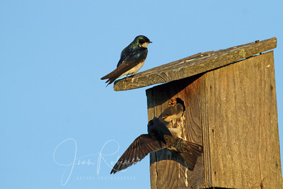 Swallow family, Las Gallinas ponds, San Rafael, California