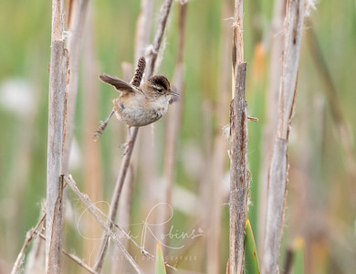 Marsh Wren levitating
