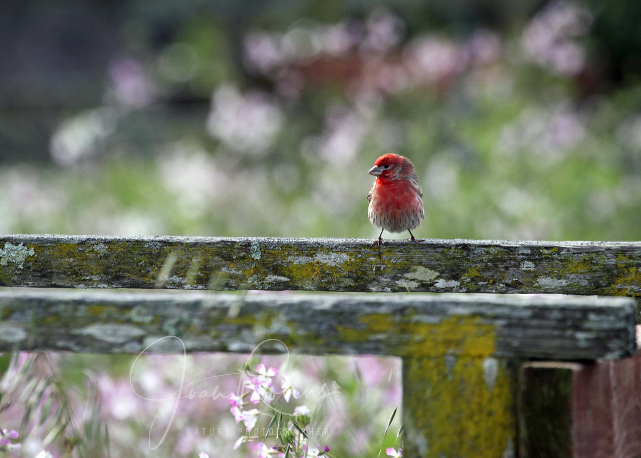 Purple Finch, Las Gallinas ponds, San Rafael, California