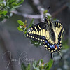 Eastern Tiger Swallowtail, Las Gallinas ponds, San Rafael, California