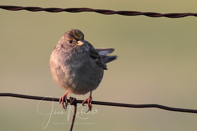 Golded-crowned Sparrow