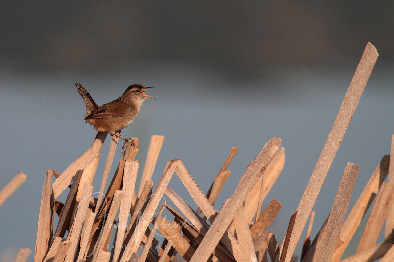 Marsh Wren, Las Gallinas ponds, San Rafael, California