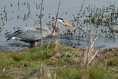 Great Egret and Great Blue Heron have a little luck