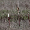 For ID only - Red-shouldered Hawk