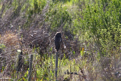 We had waited and waited. We were about to leave. I spied an odd shape. Holy Cow, there is the OWL!