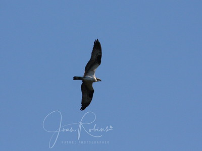 I just like to document that Osprey do fly over the ponds now and again.