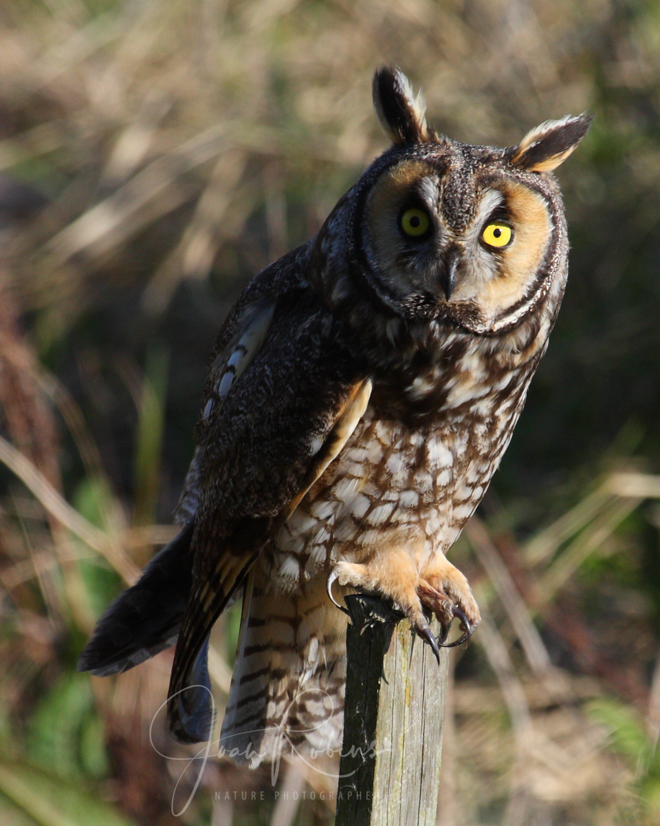 Long-eared Owl, Las Gallinas Ponds, San Rafael, California