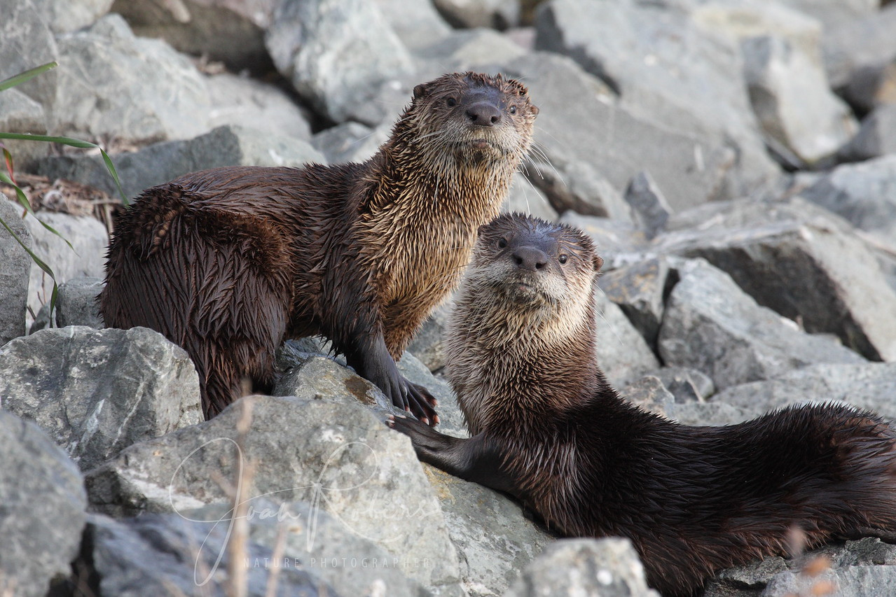 River Otters, Las Gallinas Ponds, San Rafael, California