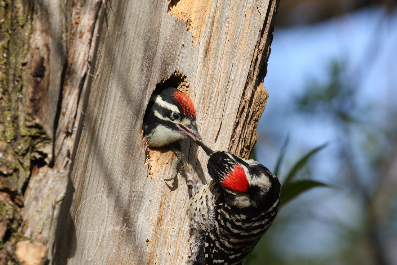Nutall's Woodpecker feeding, San Rafael, California