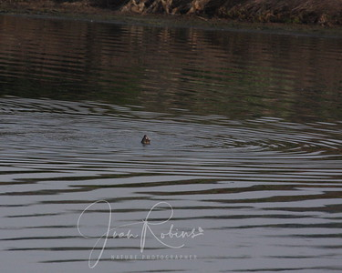 Happy Otter in Pond One