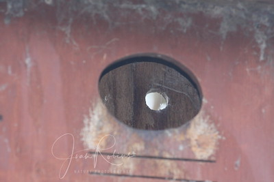 7 Barn Owl Chicks in here--can't see them