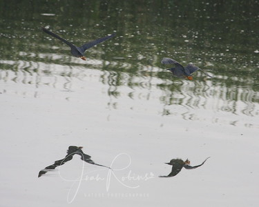 Green Heron Couple