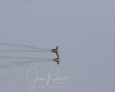 Red-Necked Phalaropes--They're back!