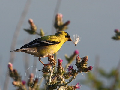 Goldfinch and nesting material