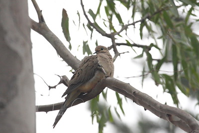 Dove near Barn Owl Box