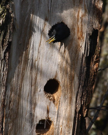 Crow chick in the Wookpecker Hole????