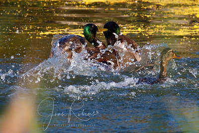 Male Mallards fighting over who gets the gal