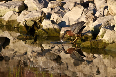 Green Heron and fish