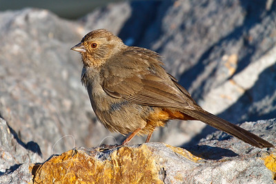 Towhee in morning light on matching rock