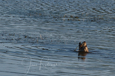 Otter downing a crayfish