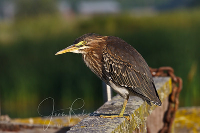 Juvie Green Heron
