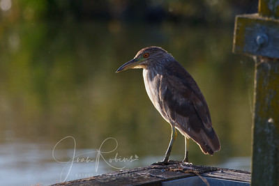 Awkward Age for a Night Heron