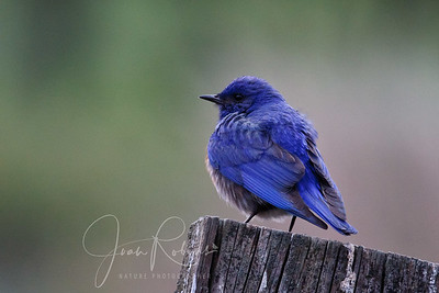 Bluebird on a gray day, Las Gallinas ponds, San Rafael, California