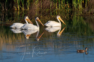 White Pelicans in the morning light