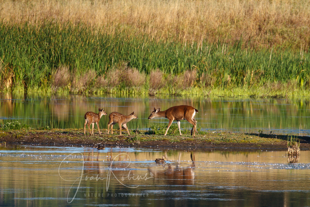 Deer and fauns in morning light, Las Gallinas Ponds, San Rafael, California