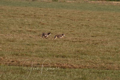 Young coyotes dashing across a field