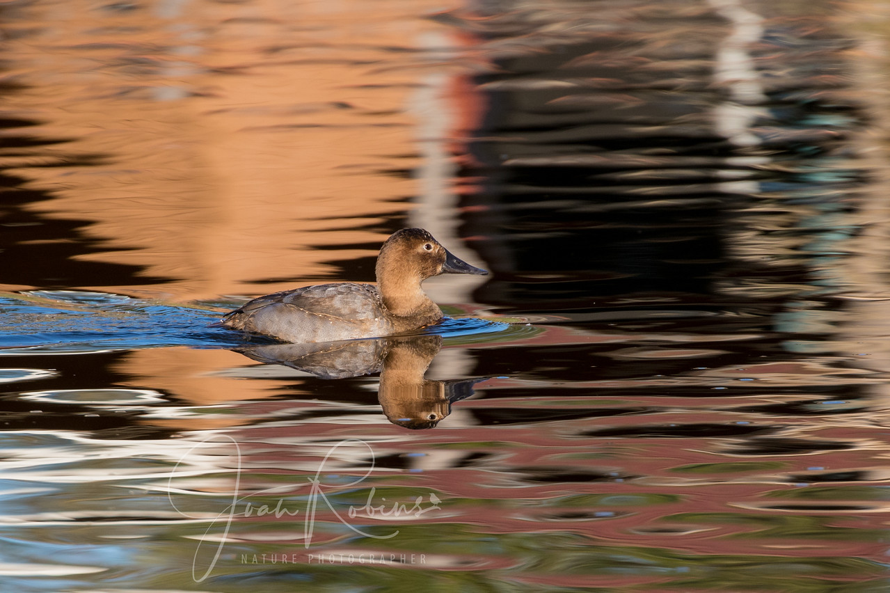 Canvasback gliding across the pond's reflections