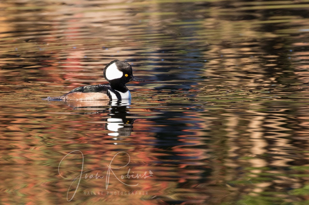 Male Hooded Merganser in the reflections of Fall