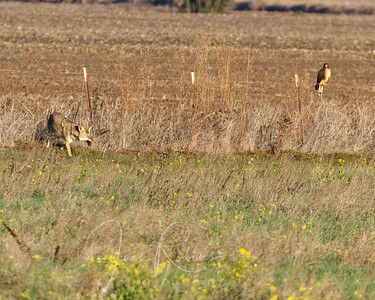I was watching the Harrier fly to a distant field and then spotted this Coyote. I didn't know he had a vole until I looked on my computer!