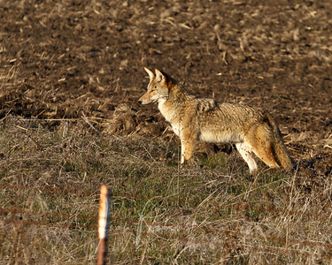 Two coyotes in the field, far apart. But I had fun watching them both hunt. Missed some great springing shots. :-(