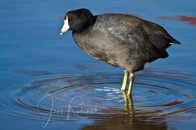 Cool Coot.