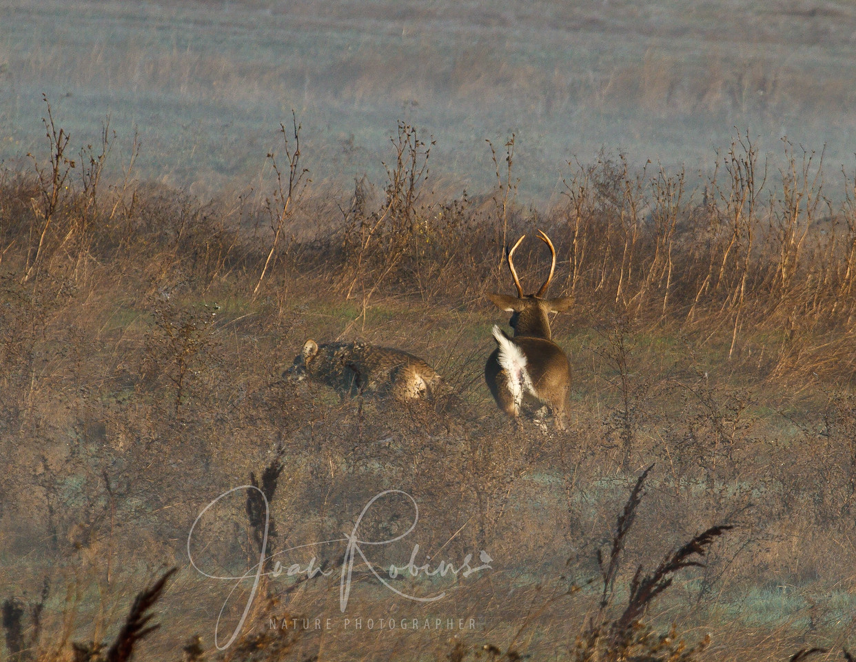 Tables turned - Stag chasing Coyote, Las Gallinas ponds, San Rafael, California