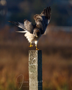 Young Northern Harrier
