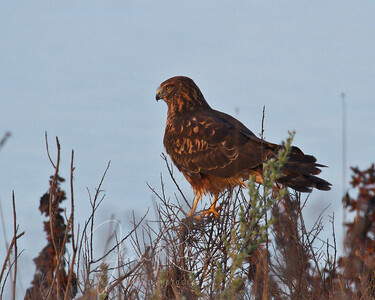 The young Harrier . . .