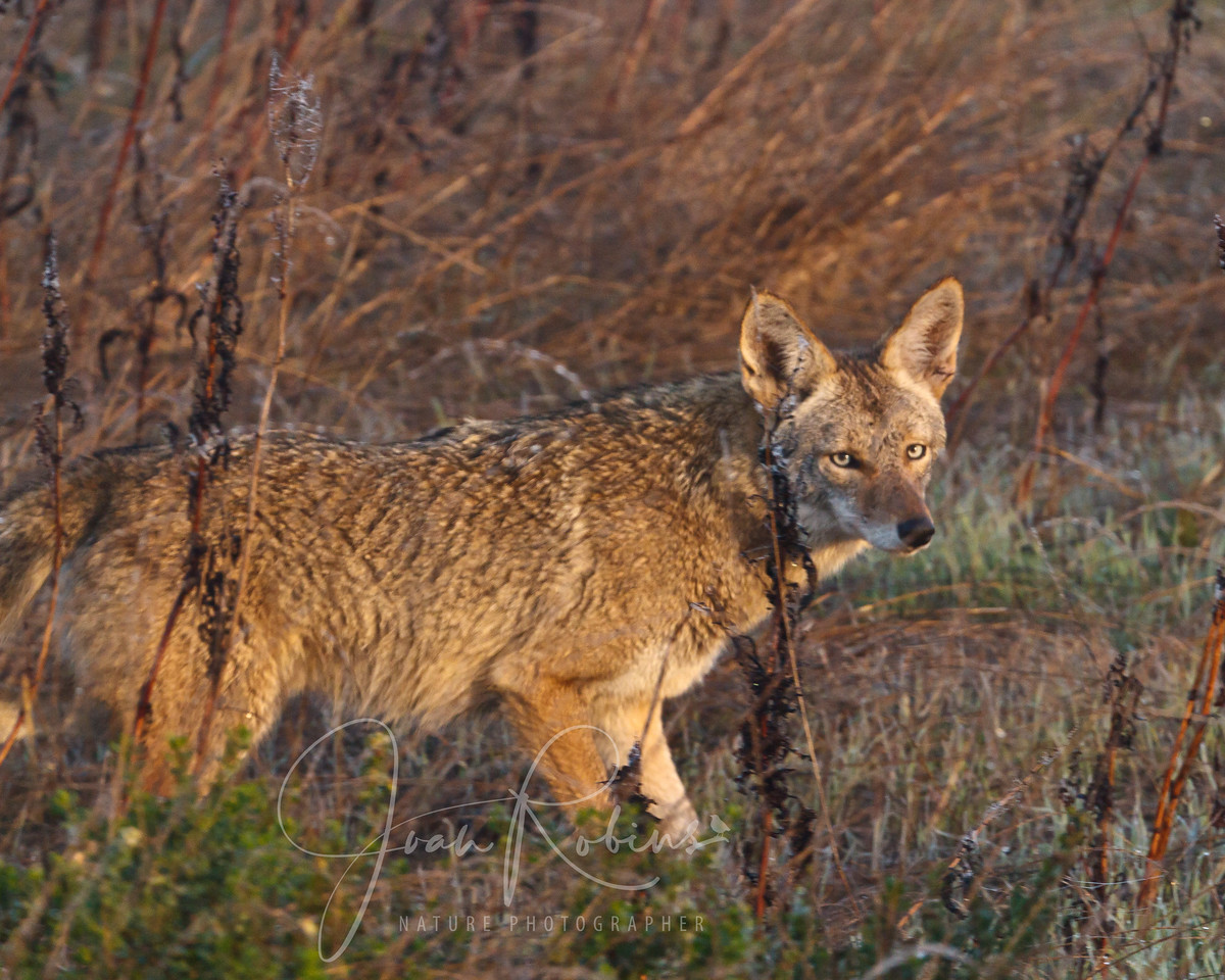 Coyote, Las Gallinas Ponds, San Rafael, California