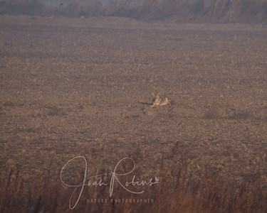 Coyote just lying in the field. A few minutes after I left, he stood up and howled. Don got the shot.