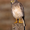 Northern Harrier (I love these guys!)